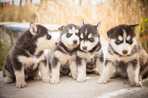 Quadruplets Husky Puppy Husky Siberian Husky Puppies