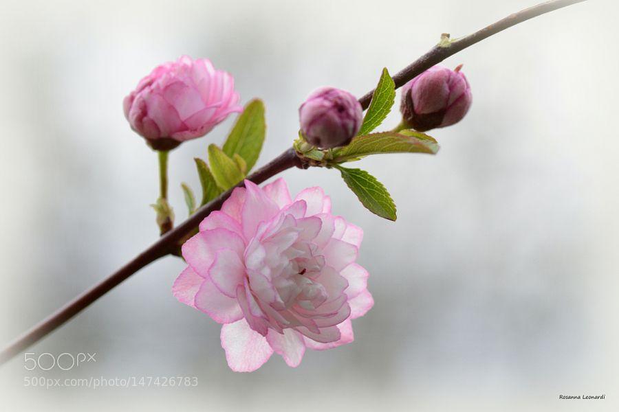 Just Pink by rosaleonardi. @go4fotos