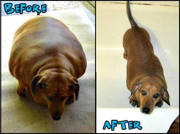 Obie The Overweight Dachshund Has A Whole New Lease On Life After