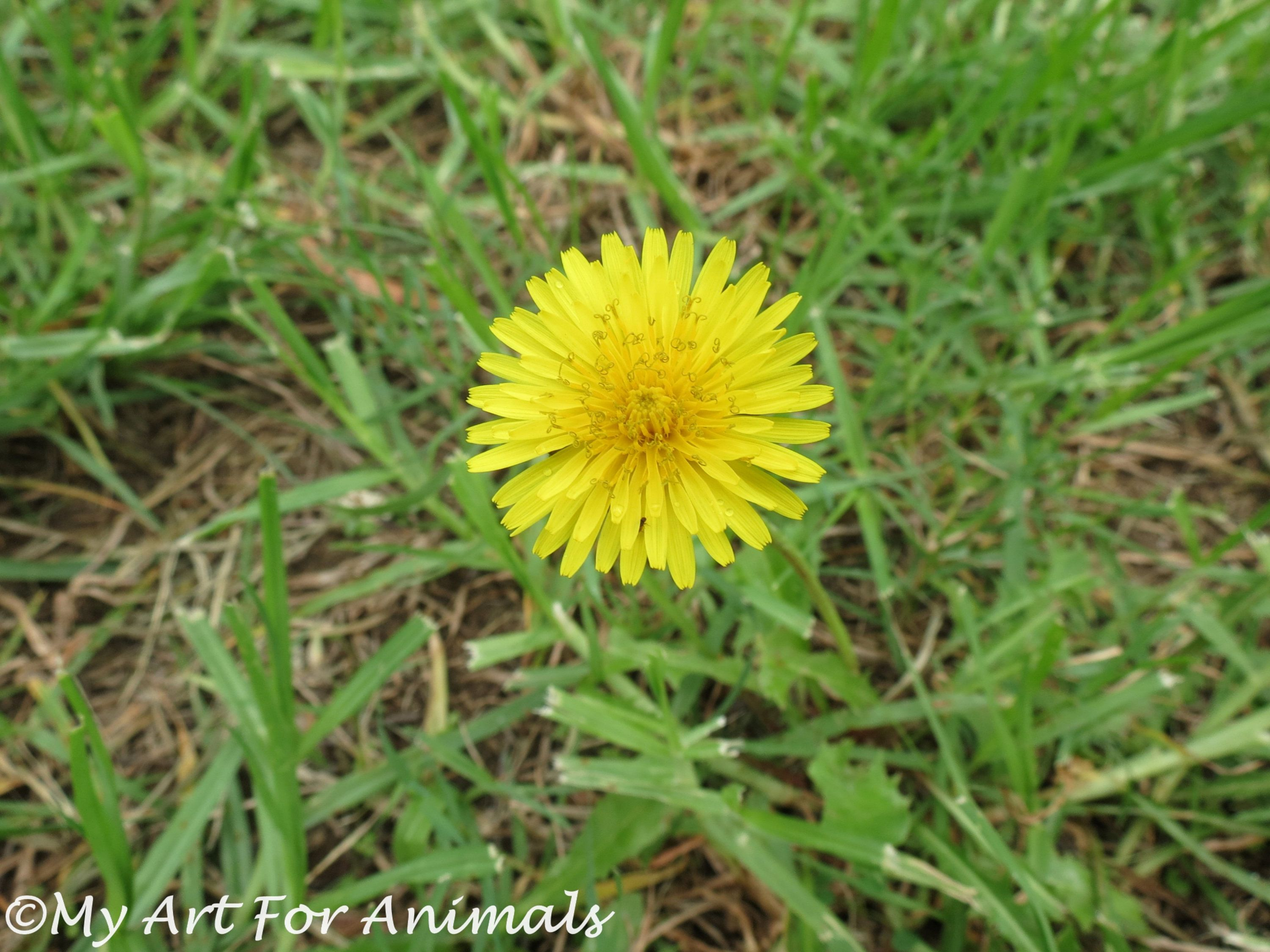 Dandelion Photo Rain Grass Wet The Bed Flower Weed Yellow