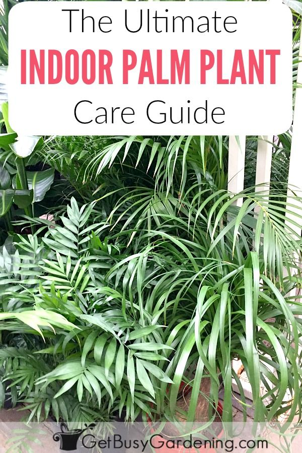 4d650e70d4342429ea7ba8c49d6733bc Palm Tree Types Of Houseplants on types of indoor palms, types of bamboo houseplants, common palm houseplants, types of trees in florida, types of lily houseplants,