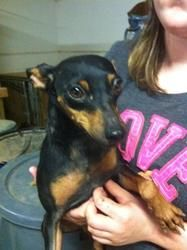 Adopt Minnie on | Animals | Miniature pinscher, Dogs, Animal
