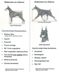 Dpca The Doberman Standard Doberman Pinscher Dobermann Pinscher