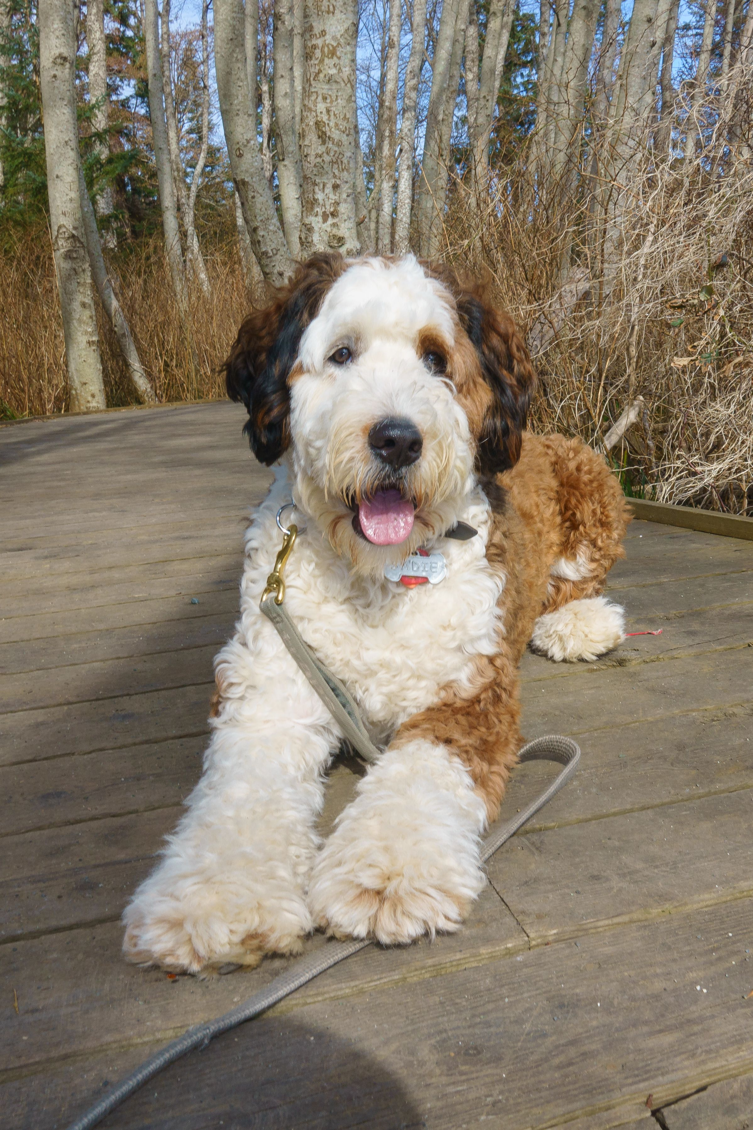 Male Goldendoodle Haircuts