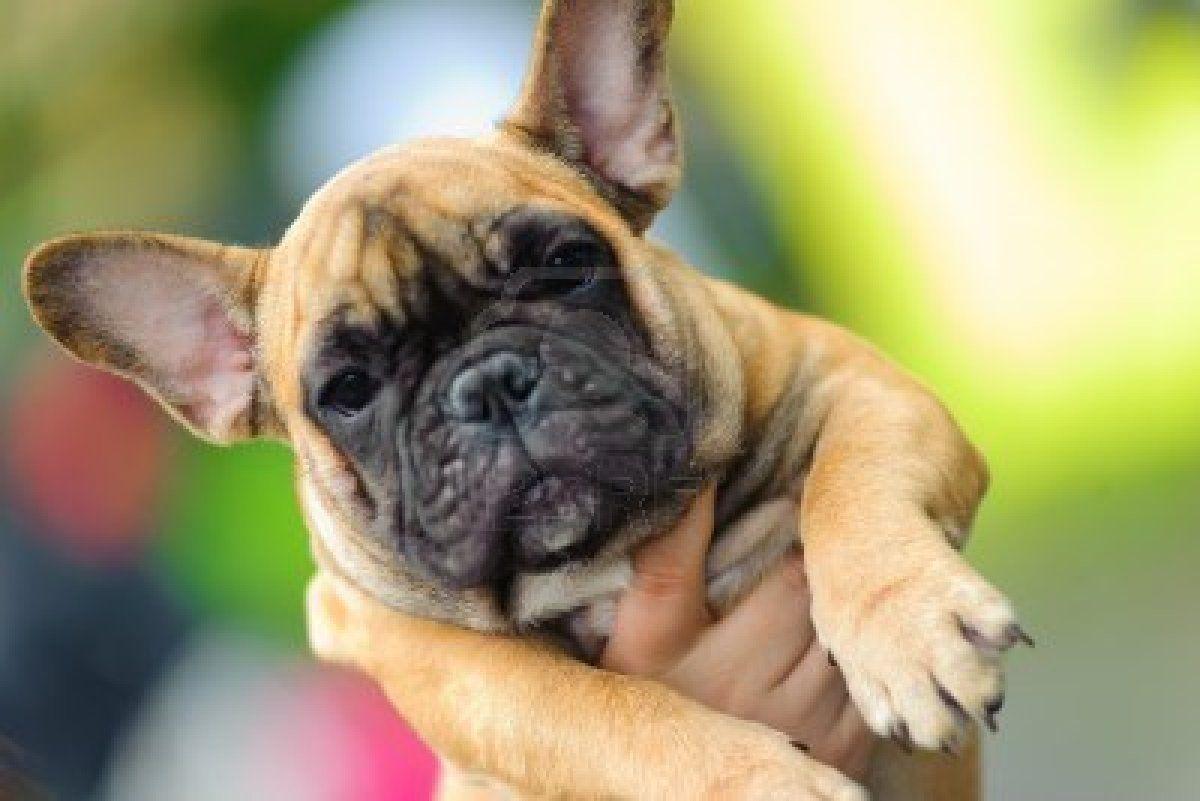 Stock Photo Franzosische Bulldogge Bulldogge Bulldoggen Welpen