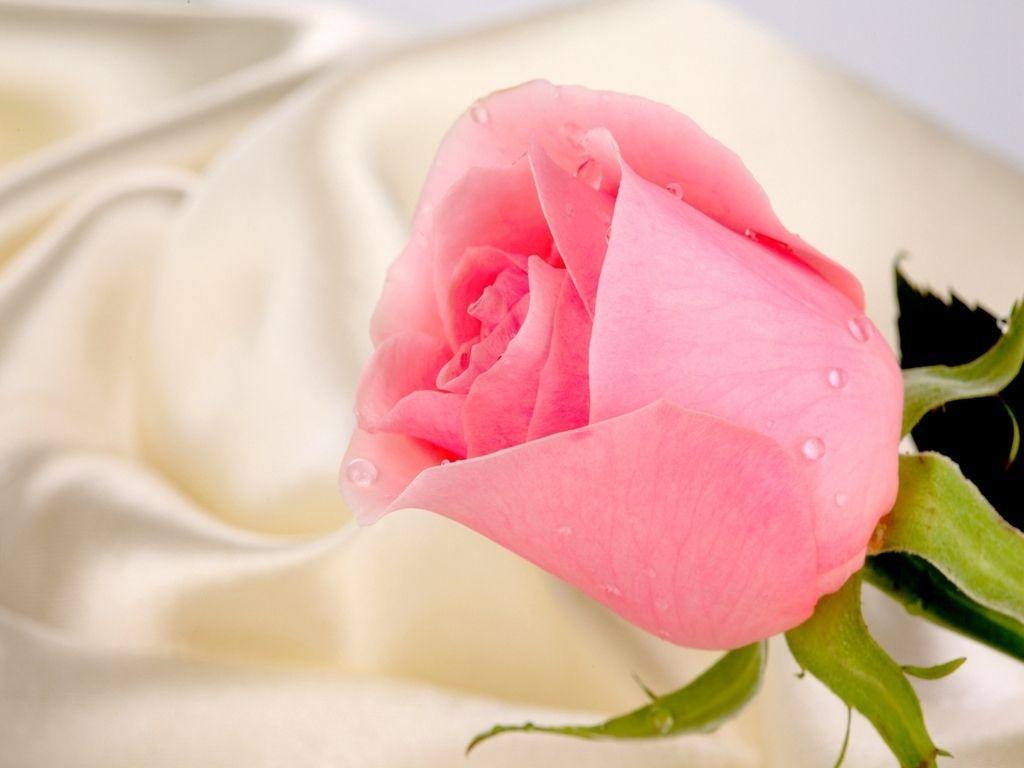 Beautiful Pink Rose Macro Wallpaper Background Wallpaper Beautiful