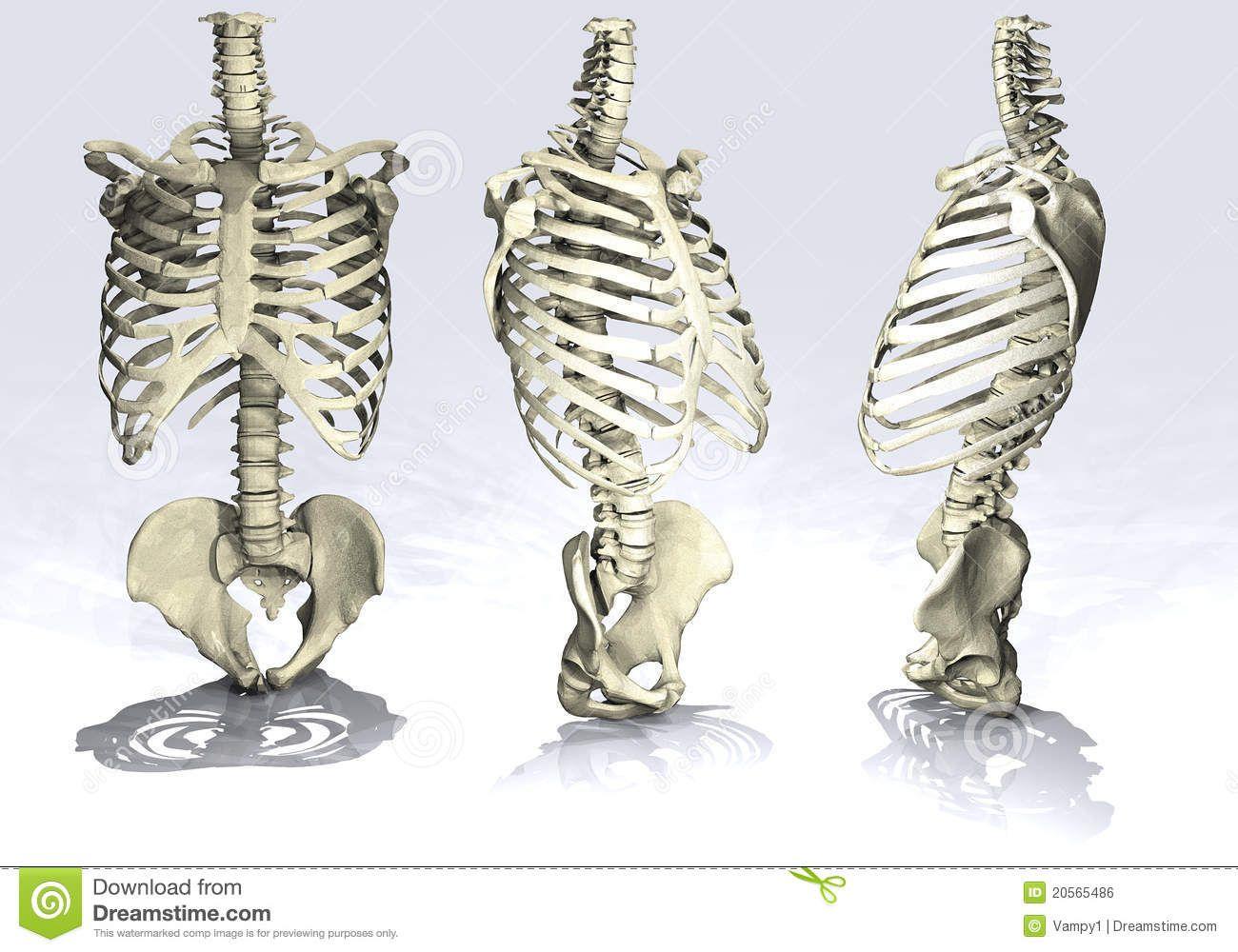 imagenes del esqueleto del torso vista lateral - Buscar con Google ...