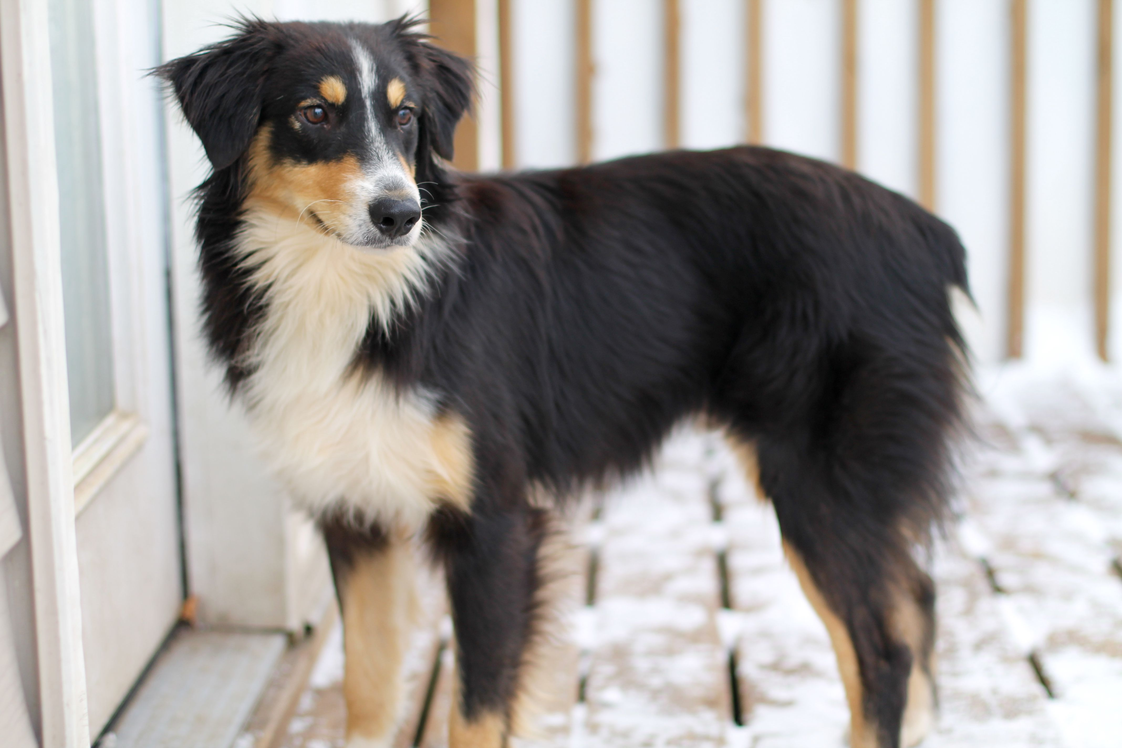 Adopt Nick on (With images) Australian shepherd dogs