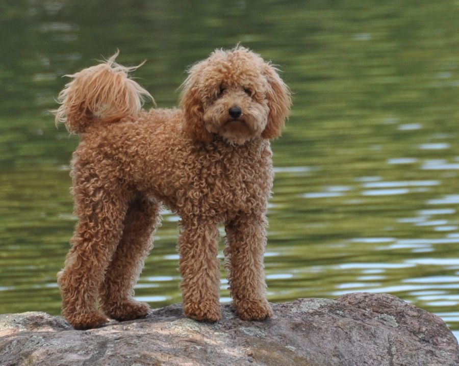 Miniature Labradoodle Dog Info Temperament Puppies Training