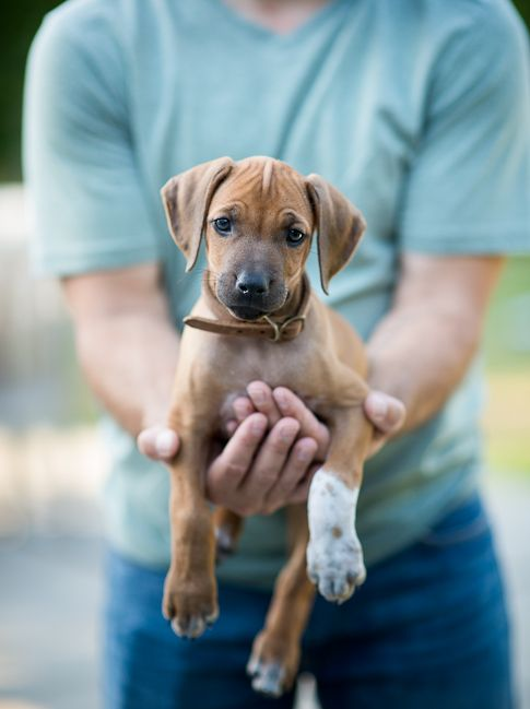 Meet Our New Joy Baby Girl Puppy Lexi Peanut White On Rice Couple Baby Dogs Rhodesian Ridgeback Puppies Animals