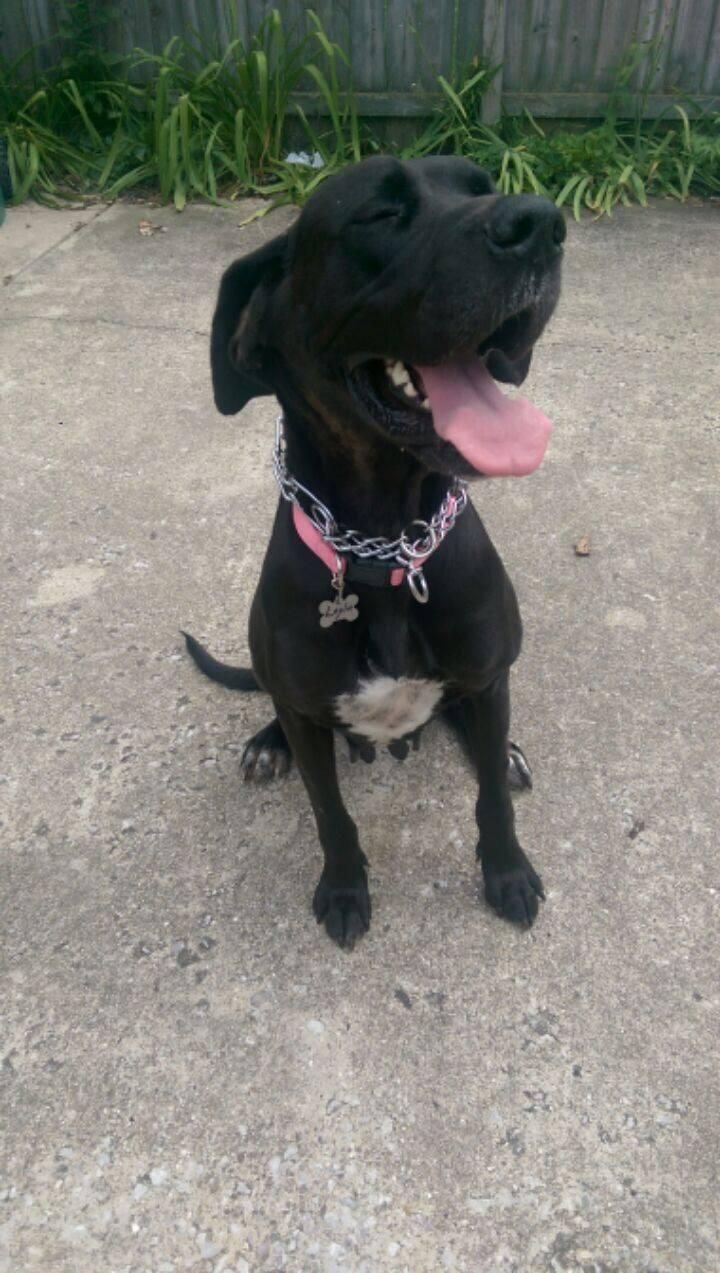Adopt Layla On Great Dane Dogs Great Dane Rescue Pets