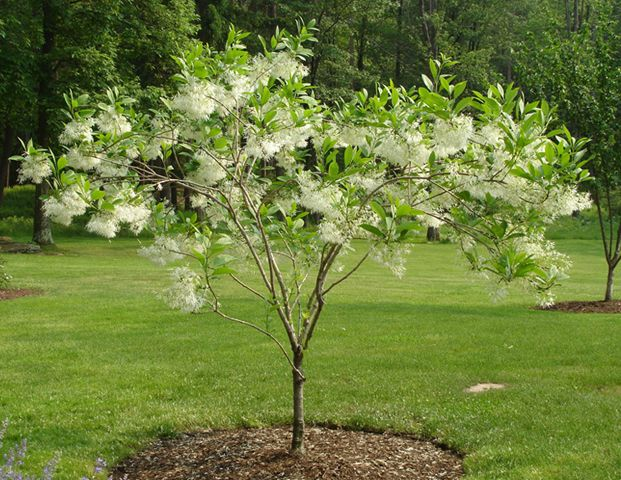Chionanthus virginicus white fringe tree this is a small for Short trees