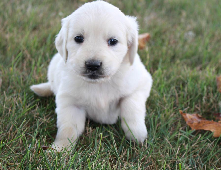 Fluffy Girl Golden Retriever Puppies In Grabill Indiana Sale