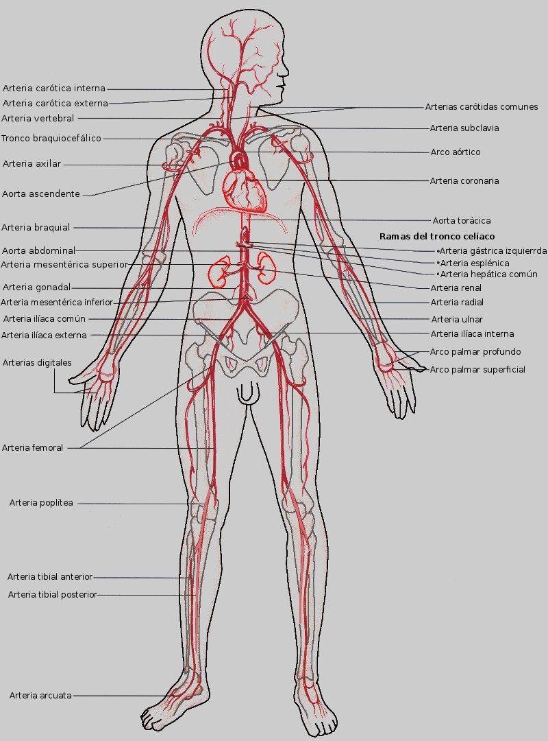 Arterias mayores del circuito sistémico | medicina♡ | Pinterest ...