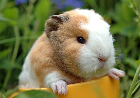 Pin On 3 Guinea Pigs 3