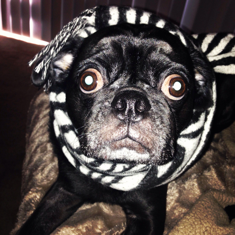 My Pug Ace Pugs French Bulldog Bulldog