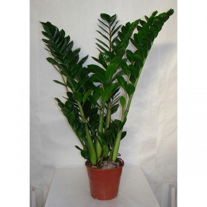 plante grasse grande taille