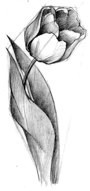 Картинки тюльпан для срисовки