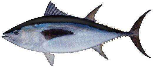 Image result for southern bluefin tuna