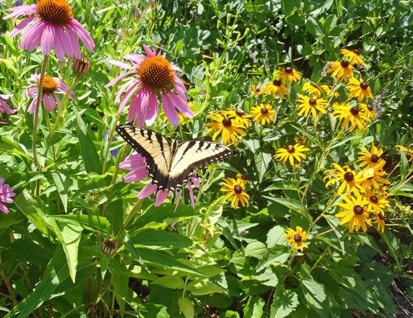 10 drought tolerant perennials for illinois includes a list for native gardens perennial gardensyard ideasflowers - Flower Garden Ideas Illinois
