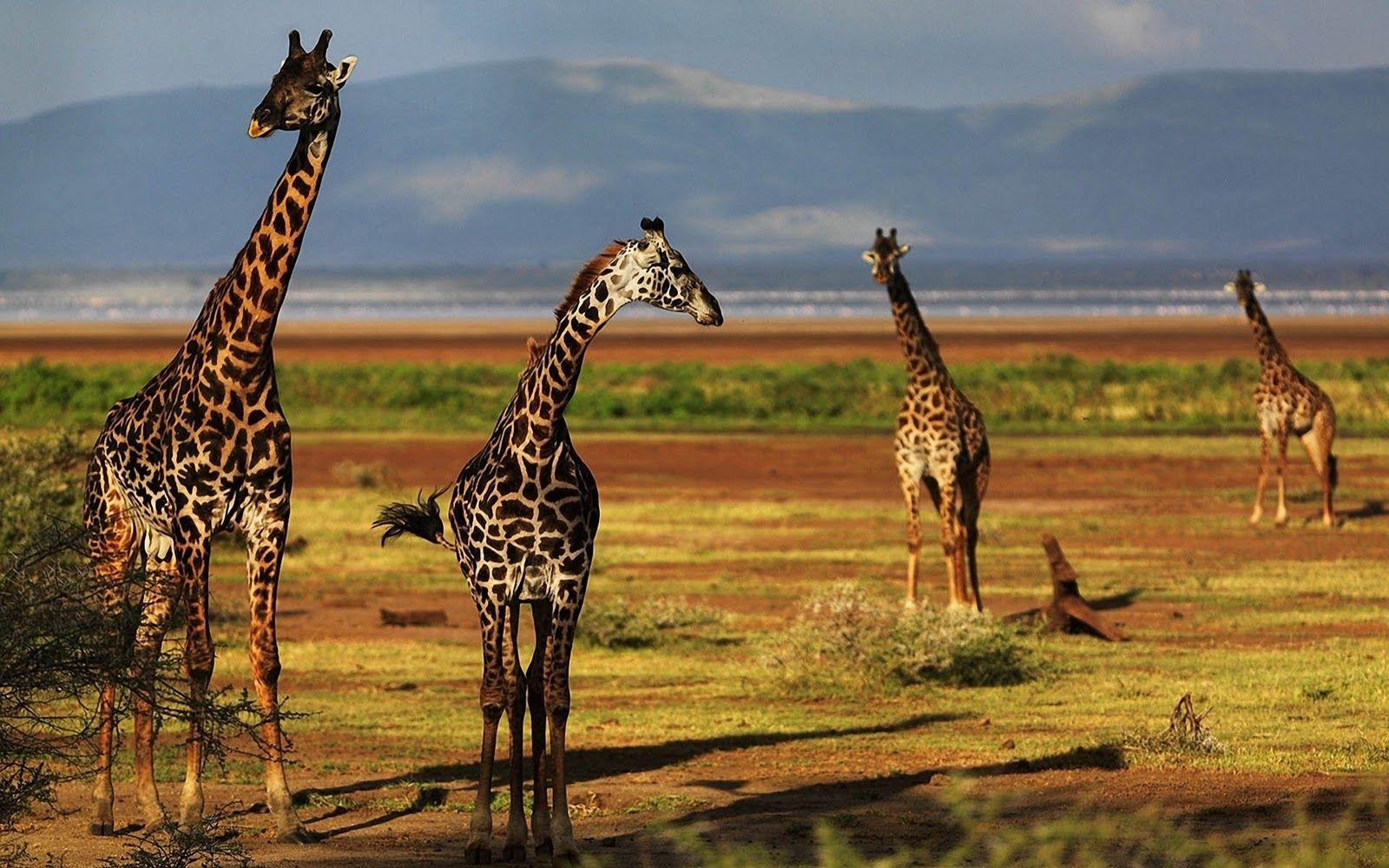 Animal Pictures Giraffe Wallpapers Hd Photos Wallpaper 2 1600x1000