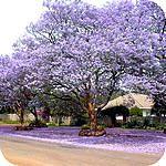 Jacaranda mimosifolia: een mooie sierlijke boom voor in de warme kas tropische boom met mooie bloemen