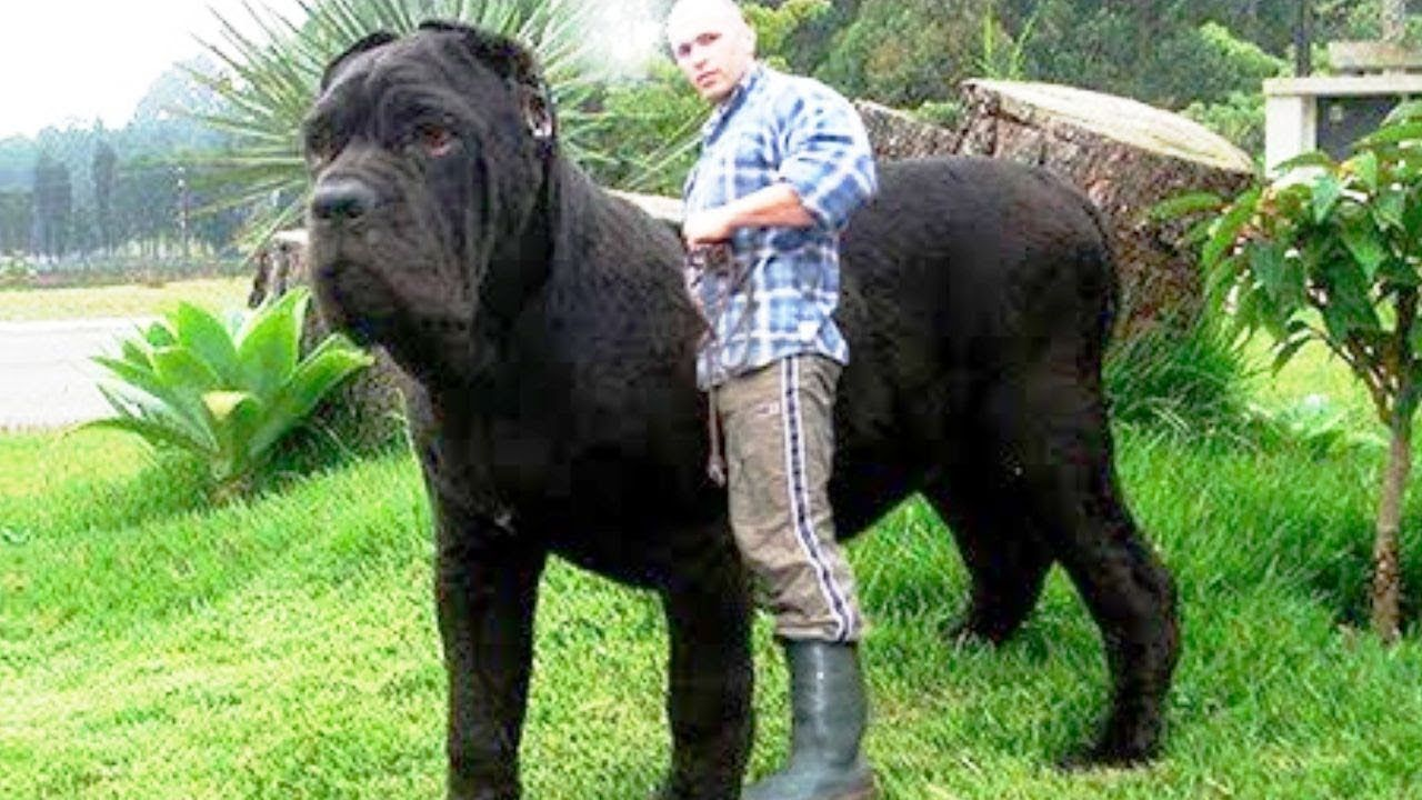 29 Big Dogs Are Bigger Than They Think Giant Dogs Big Dog