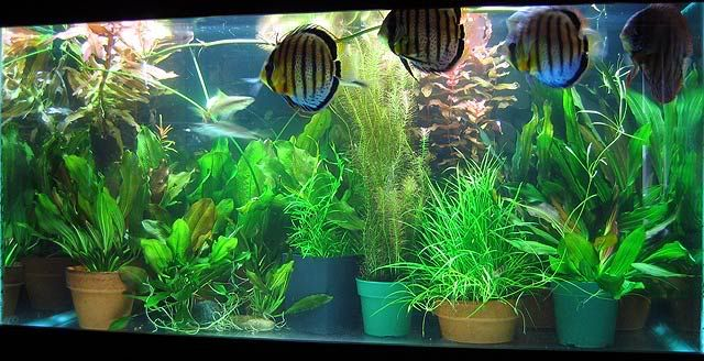Potted Amazon Swords In A Co2 Tank Aquarium Landscape Detox Your Home Houseplants