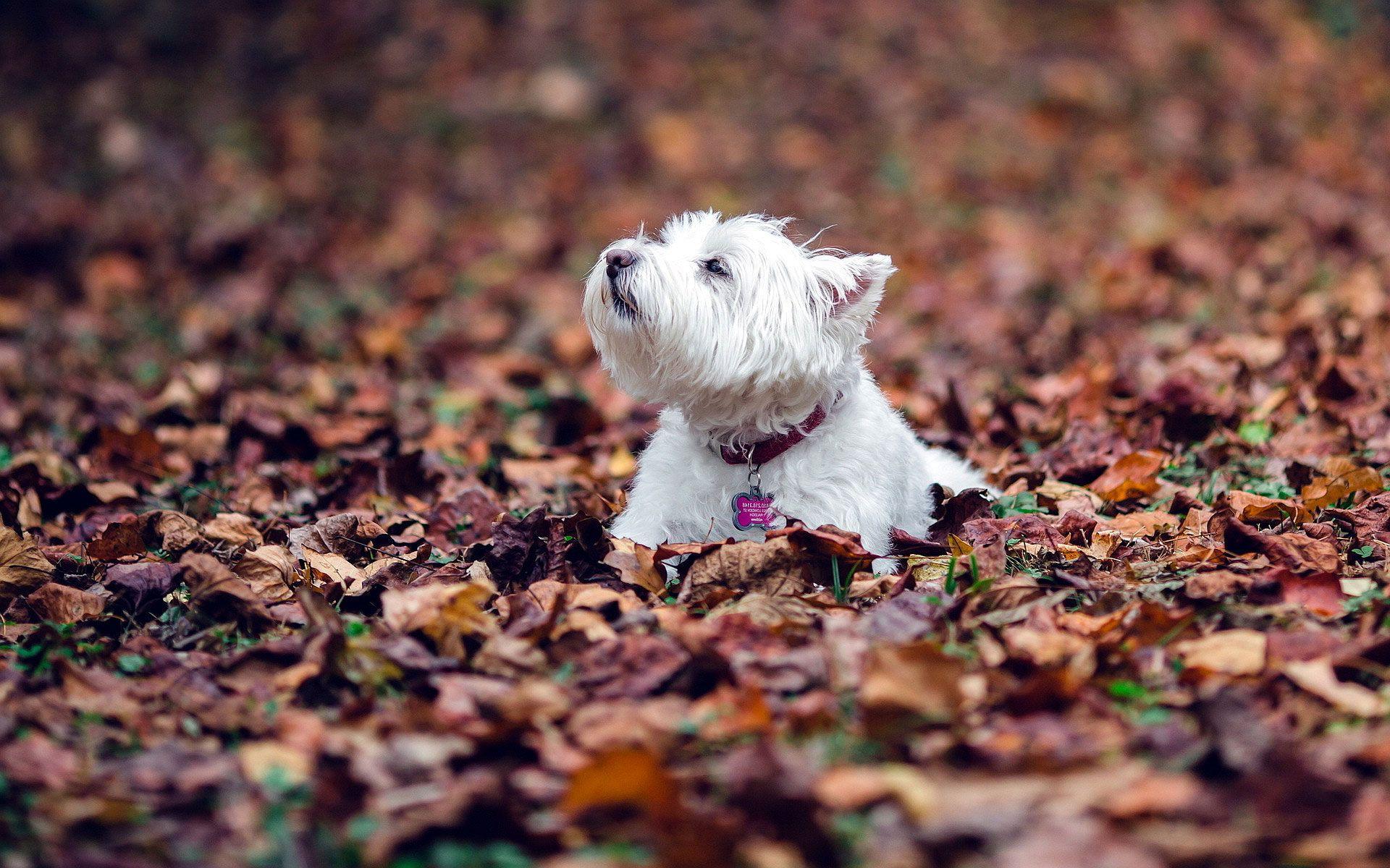 Hd West Highland White Terrier Puppy Wallpaper Westie Dogs