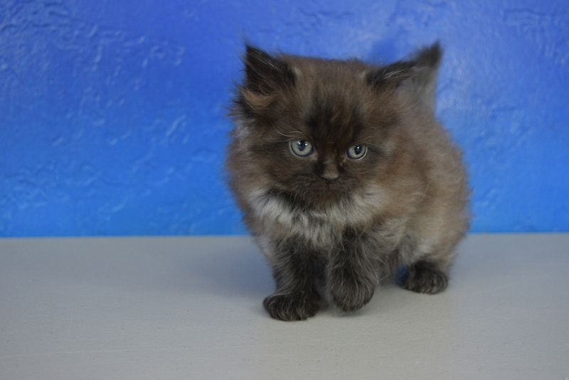 Jingle Black Smoke Shaded Solid Male Ragamuffin Kitten Ragamuffin Cat Ragdoll Kitten Cuddly Animals