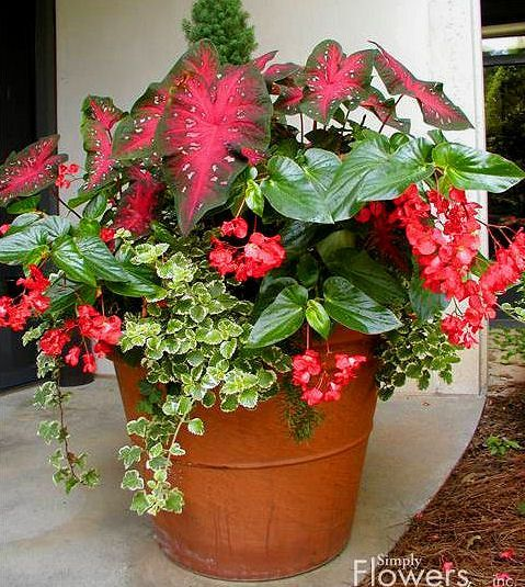 Plan Use blue planters: Caladiums (elephant ear) *pink/green filler in middle***