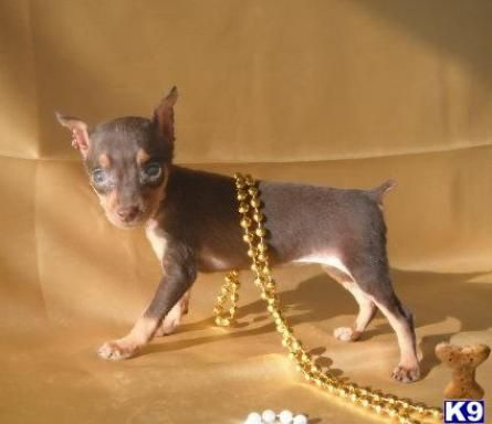 Toy Min Pin Puppy Miniature Pinscher Puppy Miniature Pinscher