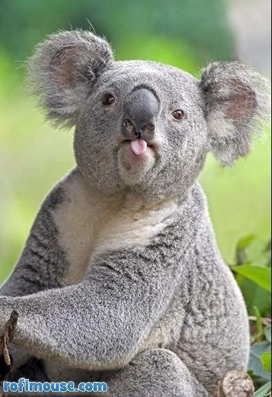 Amazing Koala Bear Chubby Adorable Dog - 4d6f18da68f729d6630ff22c619dc045  Photograph_512569  .jpg