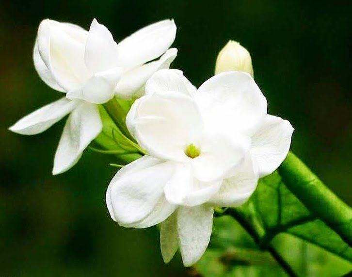 Cara Merawat Tanaman Bunga Melati Putih Halaman all