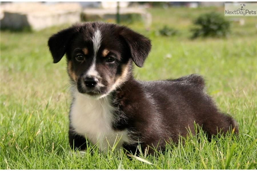 You'll love this Male Auggie puppy looking for a new home