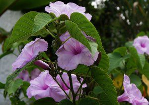 Pin By Nel Barner On Moonflower And Moonflower Bushes Morning Glory Flowers Morning Glory Plant Planting Flowers