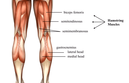 24++ Where is your hamstring located ideas