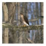Hawk Acrylic Print. Acrylic Print  Hawk Acrylic Print. Acrylic Print  $63.28  by BackyardNature  . More Designs http://bit.ly/2hyOutM #zazzle