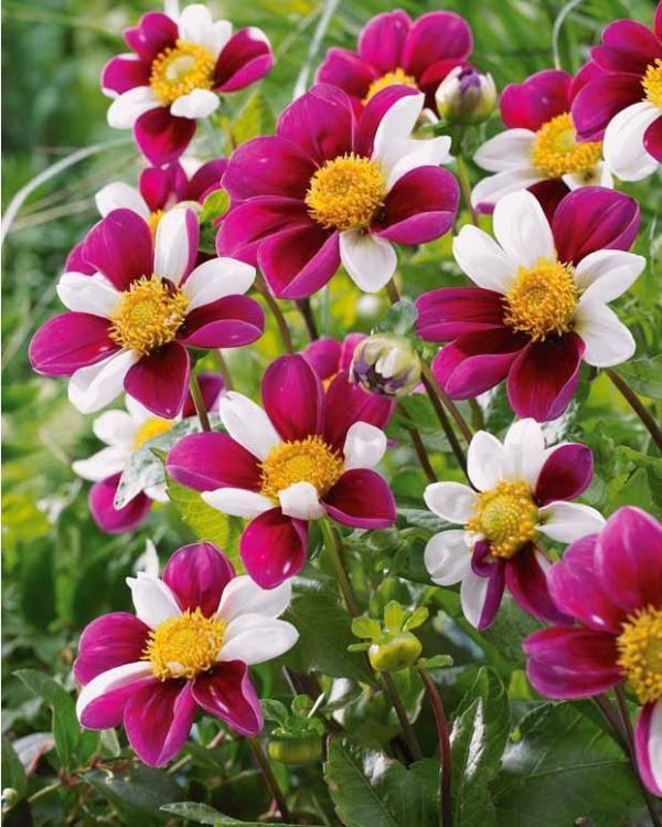 #Dahlias à fleurs d'anémone 'Smarty'
