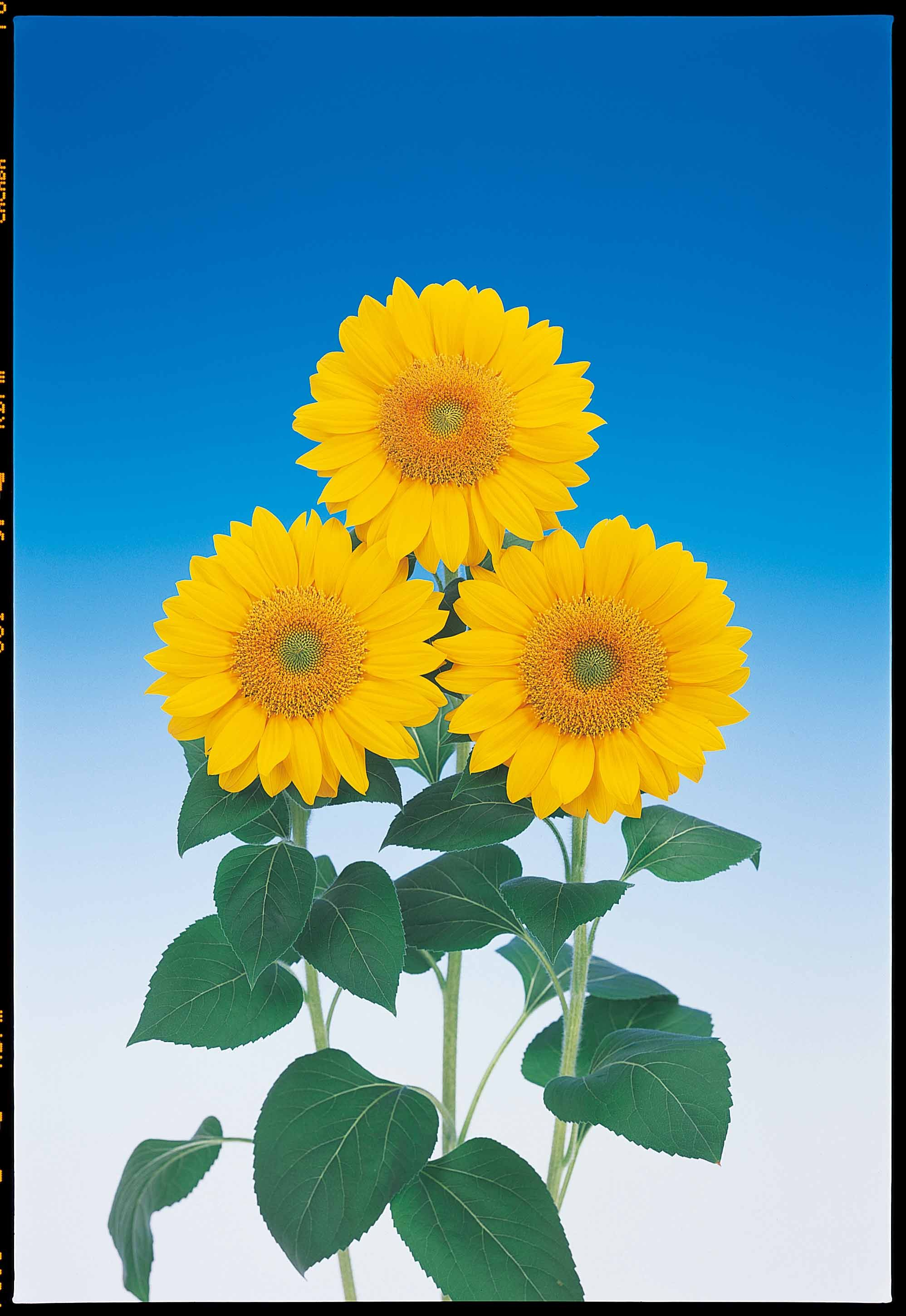 Sunflower Vincents Fresh This Variety Has A Green Center