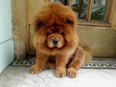 Lion King Baby Dogs Chow Chow Puppy Fluffy Dogs