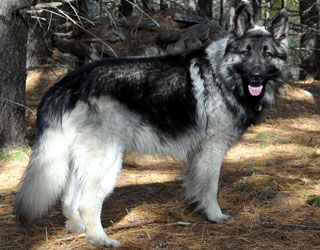 shiloh shepherd photo | International Shiloh Shepherd Dog Club [ISSDC] | Photo Gallery