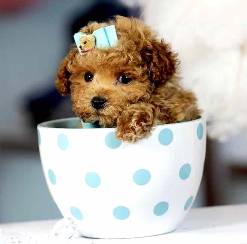 Teacup Cockapoo dachshund puppy miniature, puppy house