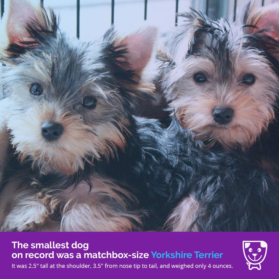 The Smallest Dog On Record Was A Matchbox Size Yorkshire Terrier It Was 2 5 Tall At The Shoulder 3 5 From Nose Tip To Tail Yorkshire Terrier Dogs Terrier