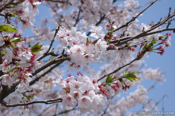 Cherry Blossom Season Has Officially Started In Many Parts Of Japan Now But Don T Worry You Ll Still Have Cherry Blossom Japan Blossom Cherry Blossom Season