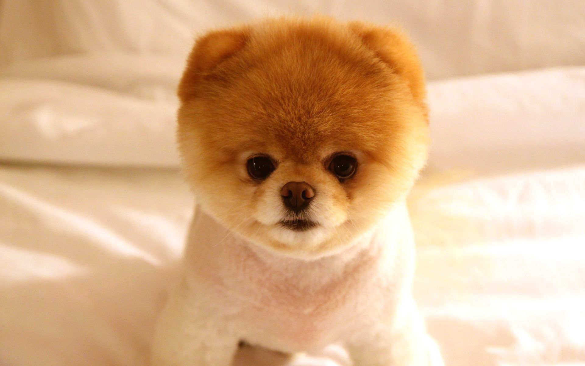 Boo The Most Famous Dog In The World Cute Dogs Breeds Baby