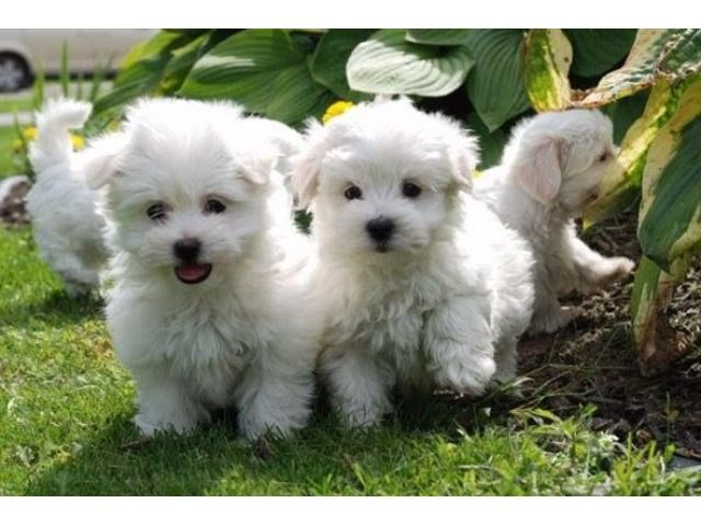 Purebred Maltese Puppies Available Maltese Puppy Maltese Dogs