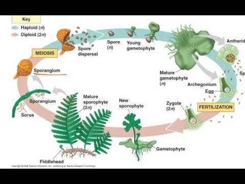 Fern Life Cycle Biology Plants Fern Life Cycle Teaching Plants