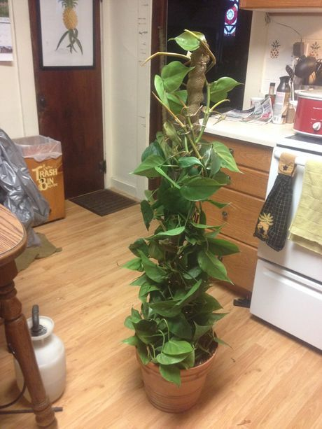 How To Make A Philodendron Pole Indoor Plant Trellis Trellis Plants Philadendron Plant