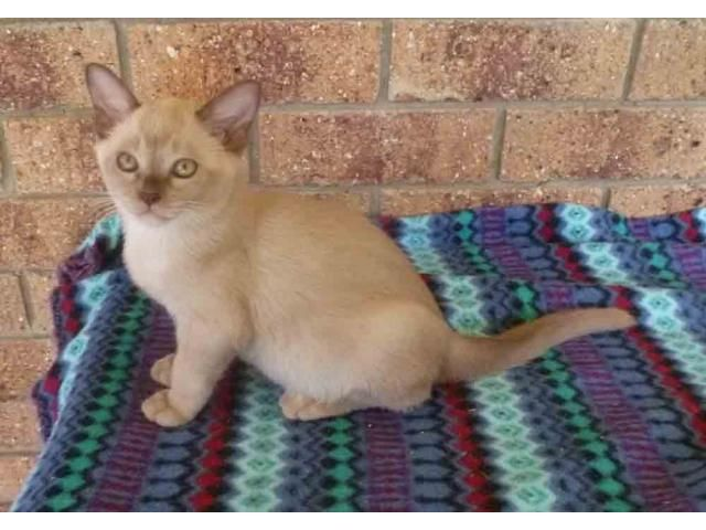 Burmese Kittens Available Is Listed For Sale On Austree Free
